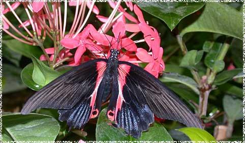 Image result for papillons en indes